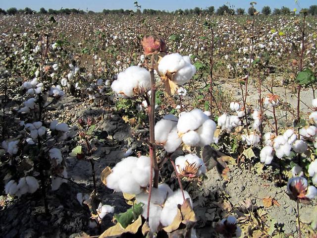 cotton aral sea 2