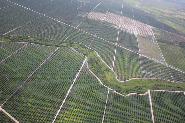 Palm_oil_on_peatland.jpg
